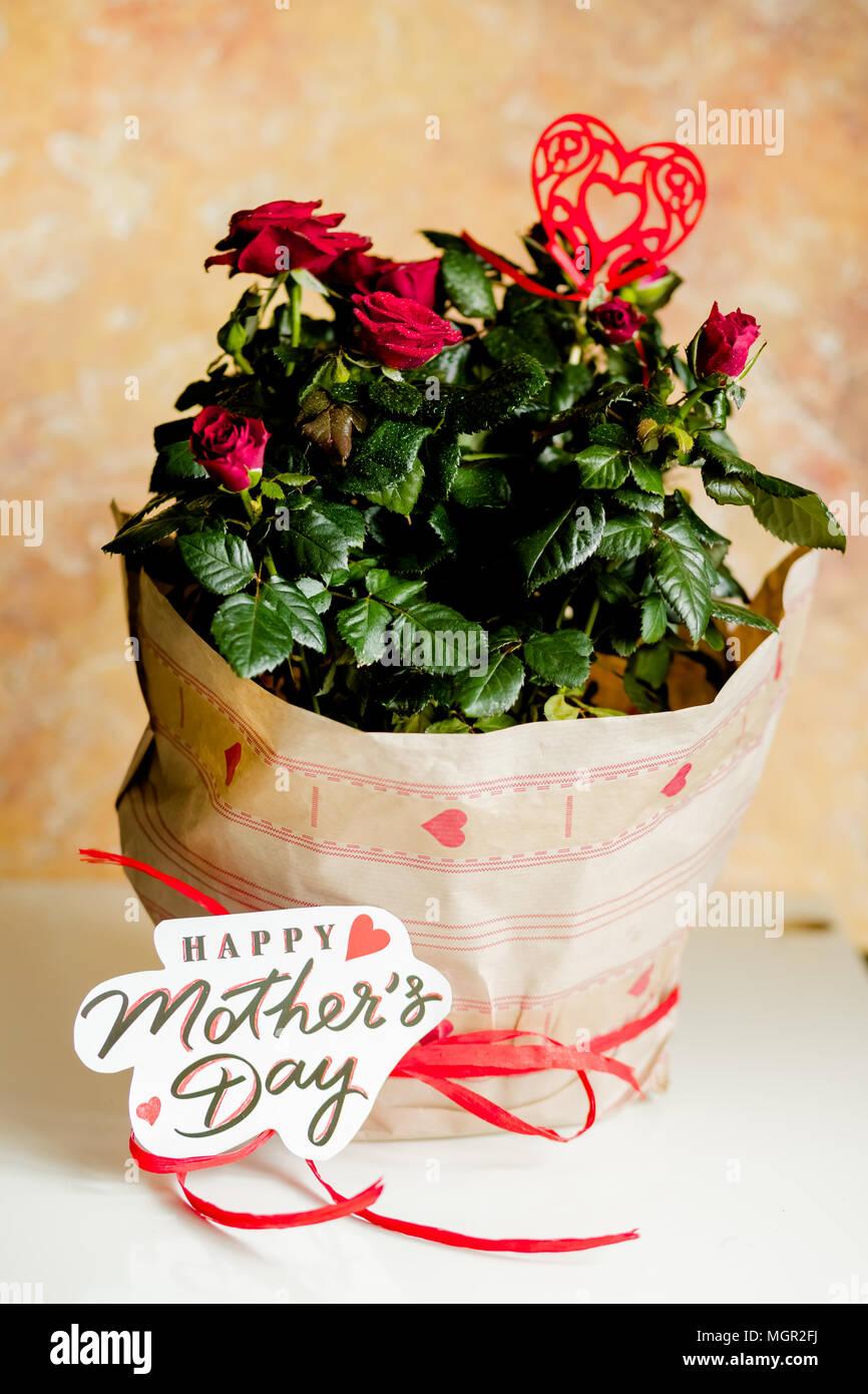 Rose rosse in vaso sul tavolo bianco e sfondo giallo.pianta in vaso nel pacchetto vacanza.Festa della mamma regali -potted red rose.congratulazioni con felice festa della mamma. Immagini Stock