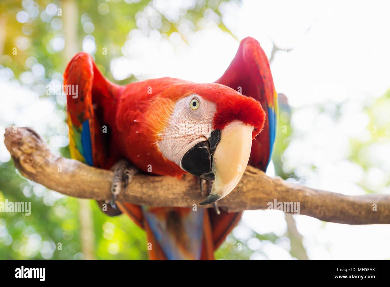Scarlett Macaw bird parrot guardando curioso in Macaw Mountain, Copan Ruinas, Honduras, America Centrale Immagini Stock