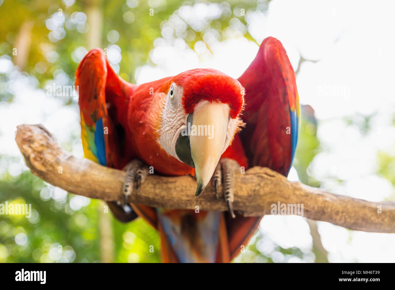 Guardando dritto Scarlett Macaw bird parrot con colore rosso in Macaw Mountain, Copan Ruinas, Honduras, America Centrale Immagini Stock