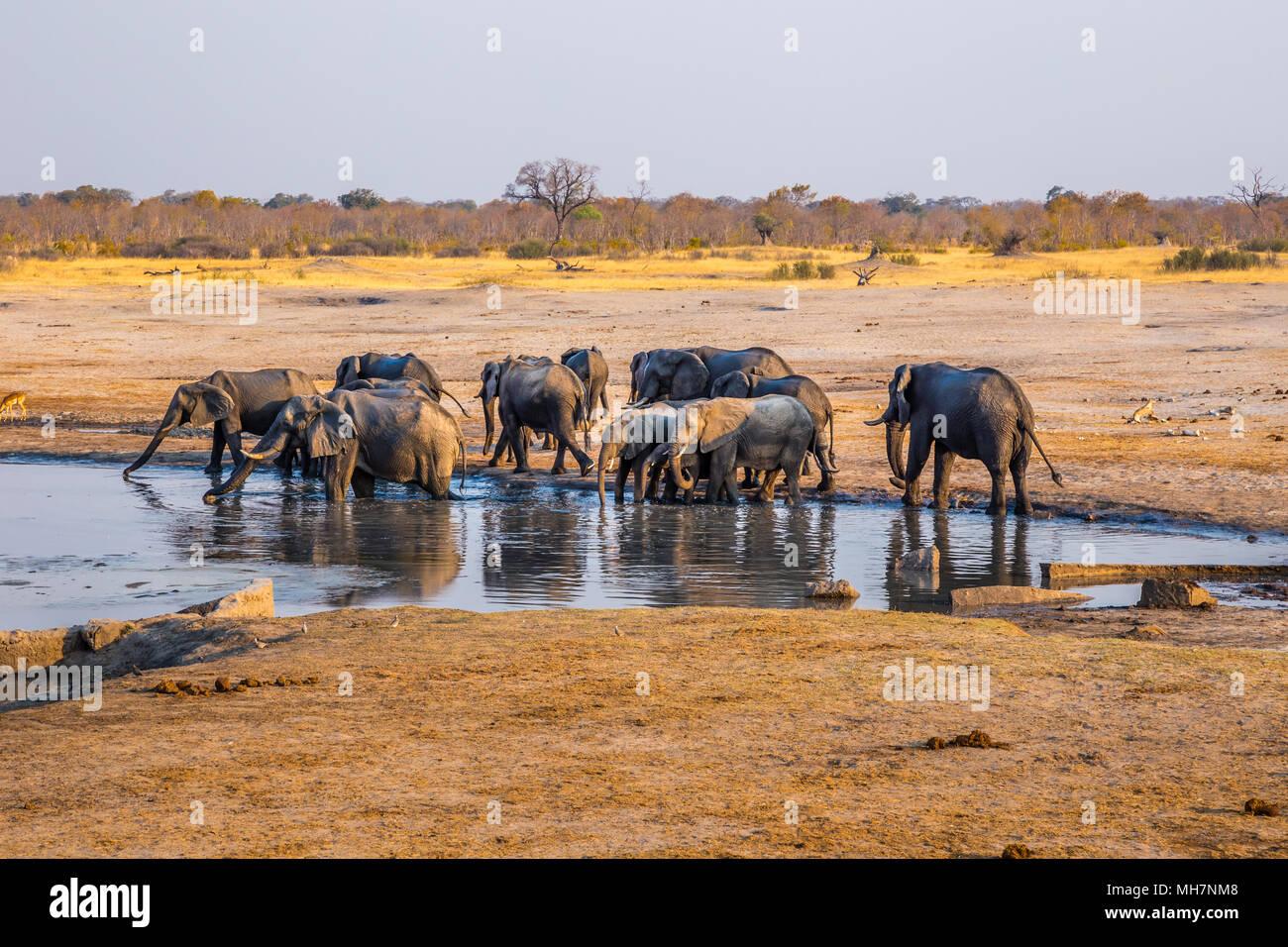 Gli elefanti raccogliere da uno dei rimanenti numerose pozze d'acqua durante un periodo di siccità nel Parco Nazionale di Hwange, Zimbabwe. Il 9 settembre. 2016. Immagini Stock