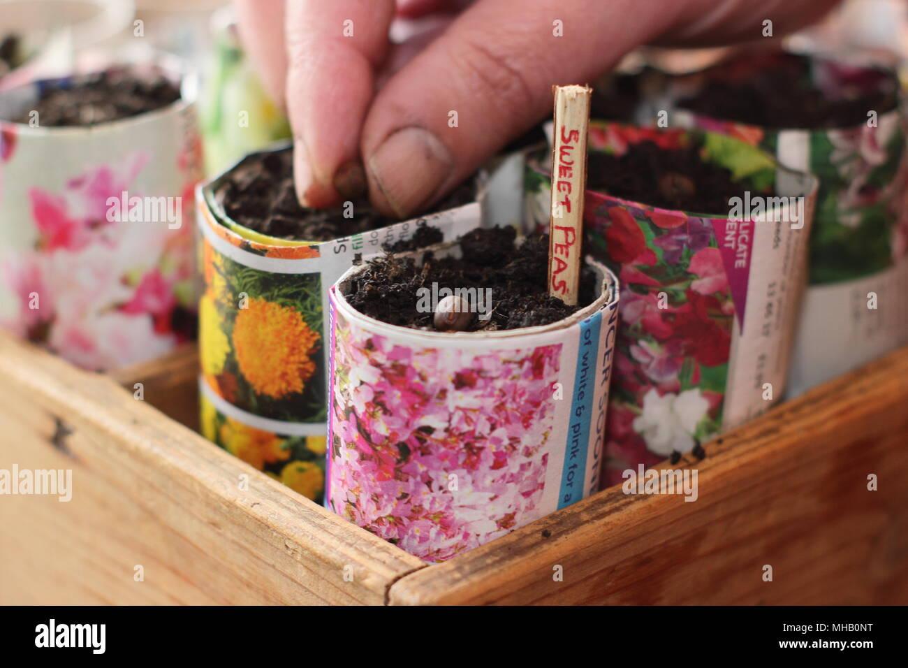 Lathyrus odoratus. La semina di pisello dolce semi in carta artigianale pentole marcato con un ramoscello affettata come alternativa all'utilizzo di plastica nel giardinaggio, REGNO UNITO Immagini Stock