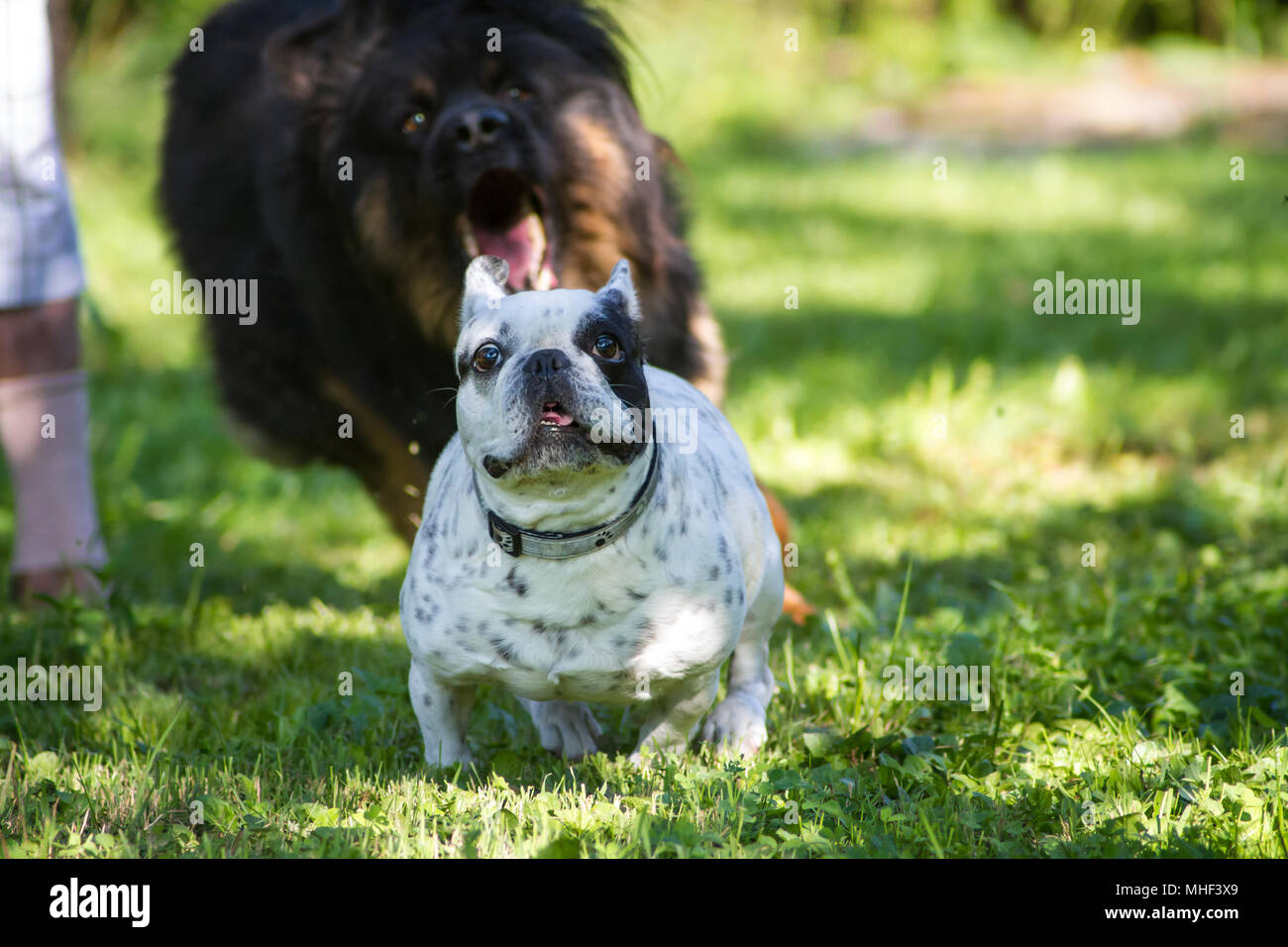 Bianco Nero Pezzati Bulldog Francese Cane Femmina In Una Giornata Di