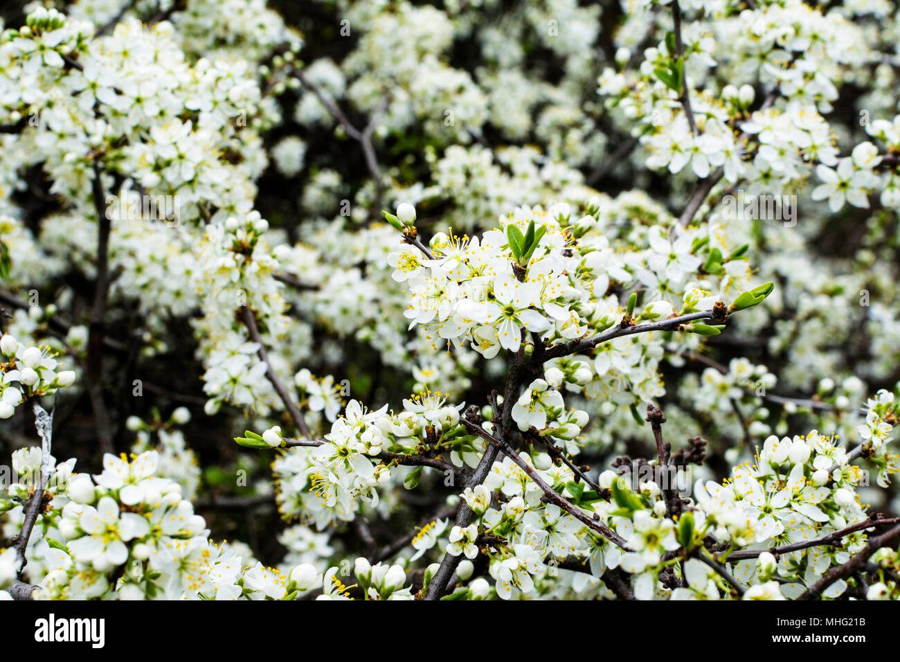 Albero Con Fiori Bianchi fioritura di fioritura o albero di mele con fiori bianchi in