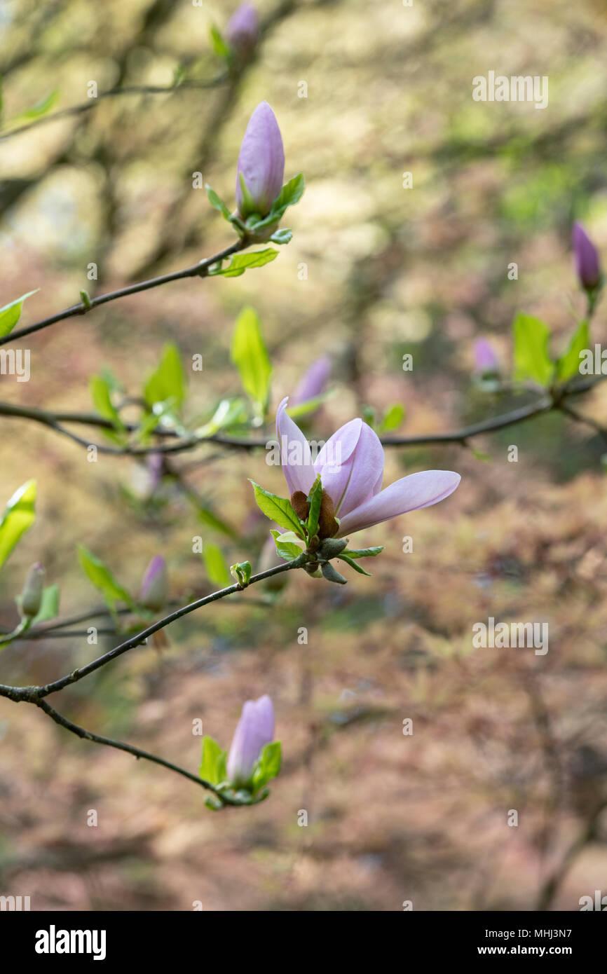 Struttura Dei Fiori.X Magnolia Soulangeana Crimson Imbianchino Della Struttura Dei