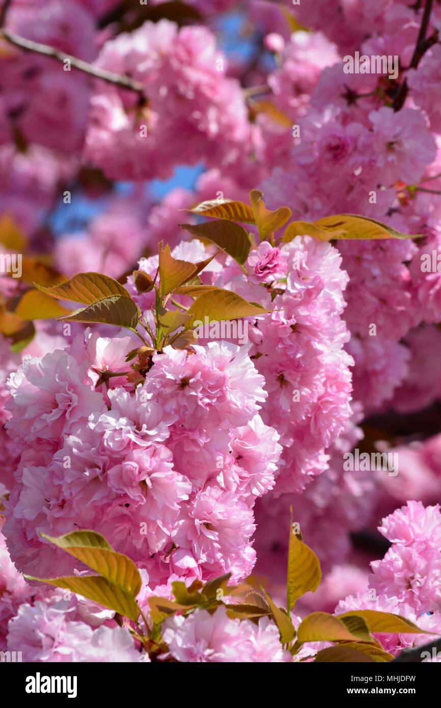 Giapponese Di Fiori Di Ciliegio Sakura Molla Sfondo Floreale Con