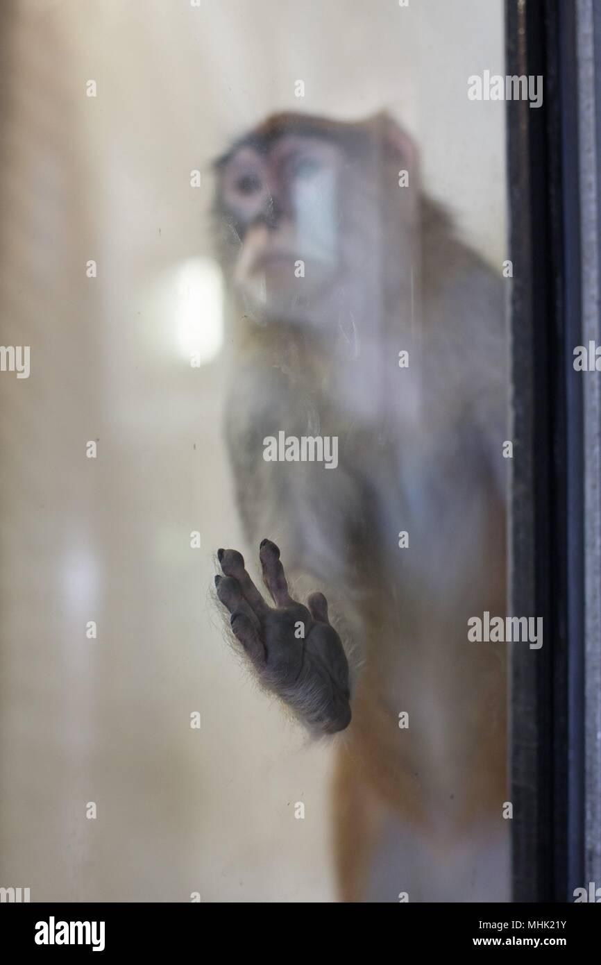 Un triste guardando scimmia in uno zoo con mano sul vetro del contenitore. Foto Stock