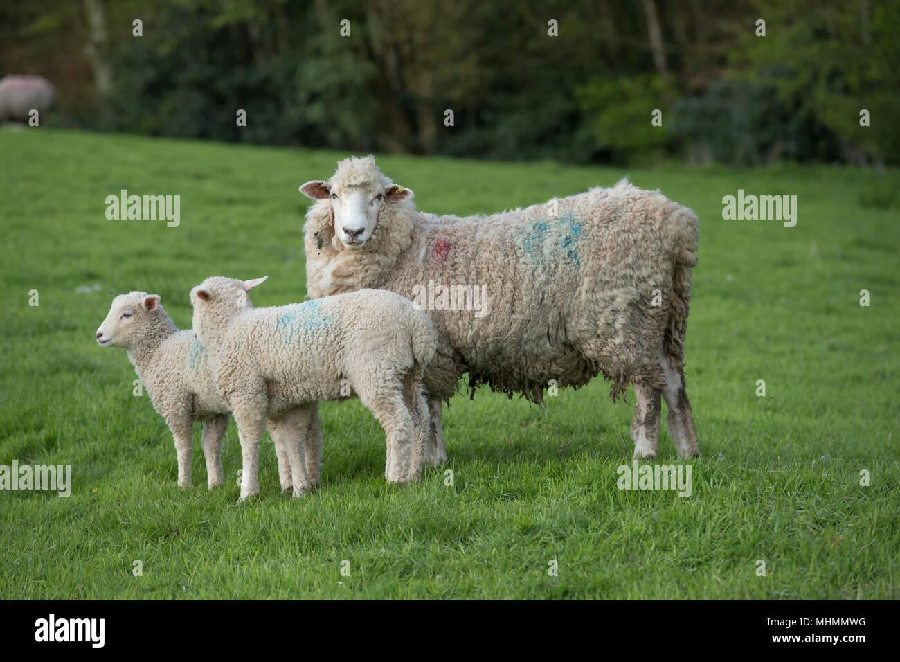 Le pecore e gli agnelli in un gregge di ovini Immagini Stock