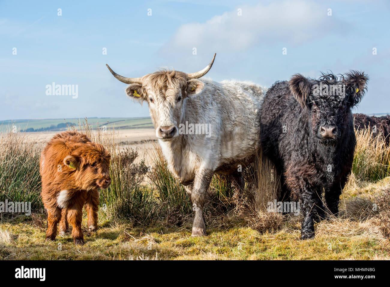 Wild moorland e bestiame di montagna Immagini Stock
