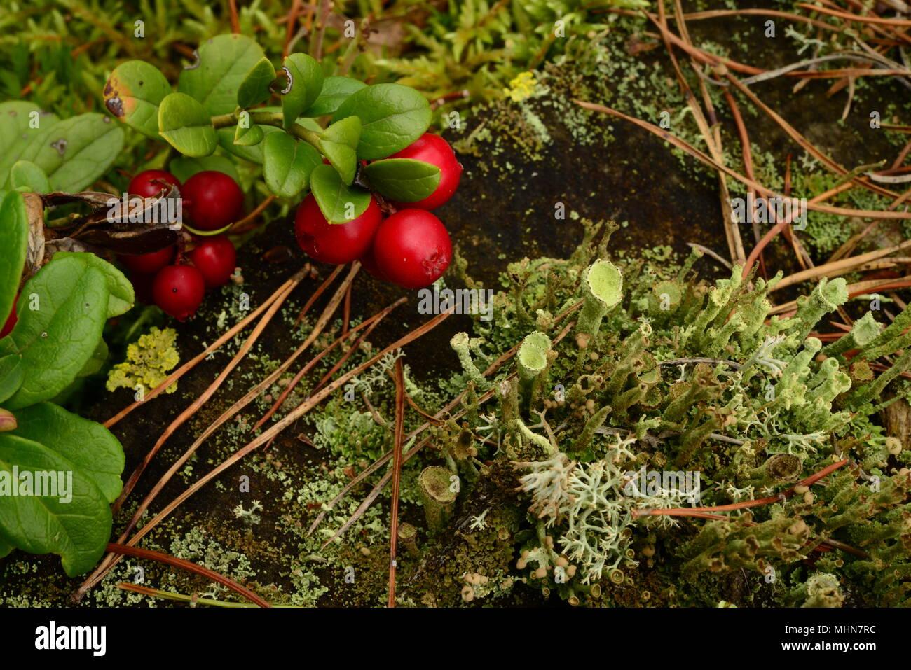 Berry bush di rosso cowberry su un vecchio ceppo di albero nel verde muschio la sua naturale bellezza brillanti colori di sfondo della natura Immagini Stock