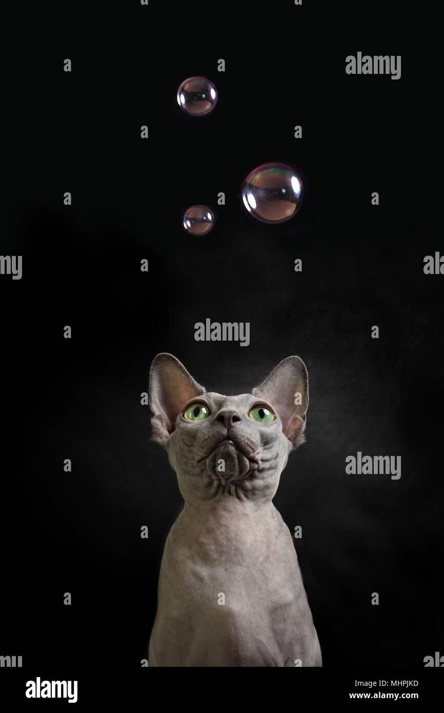 Sphynx cat guardare fino a alcune bolle di sapone Foto Stock