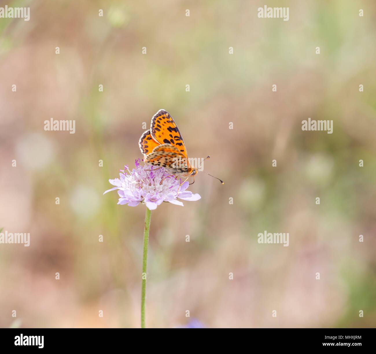 Avvistato Fritillary Melitaea didyma butterfly tenendo il nettare da un fiore scabious in Picos de Europa Spagna settentrionale Immagini Stock