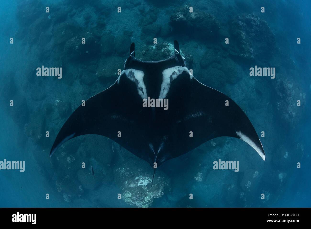 Giant oceanic manta ray, vista aerea, Revillagigedo, Tamaulipas, Messico Foto Stock