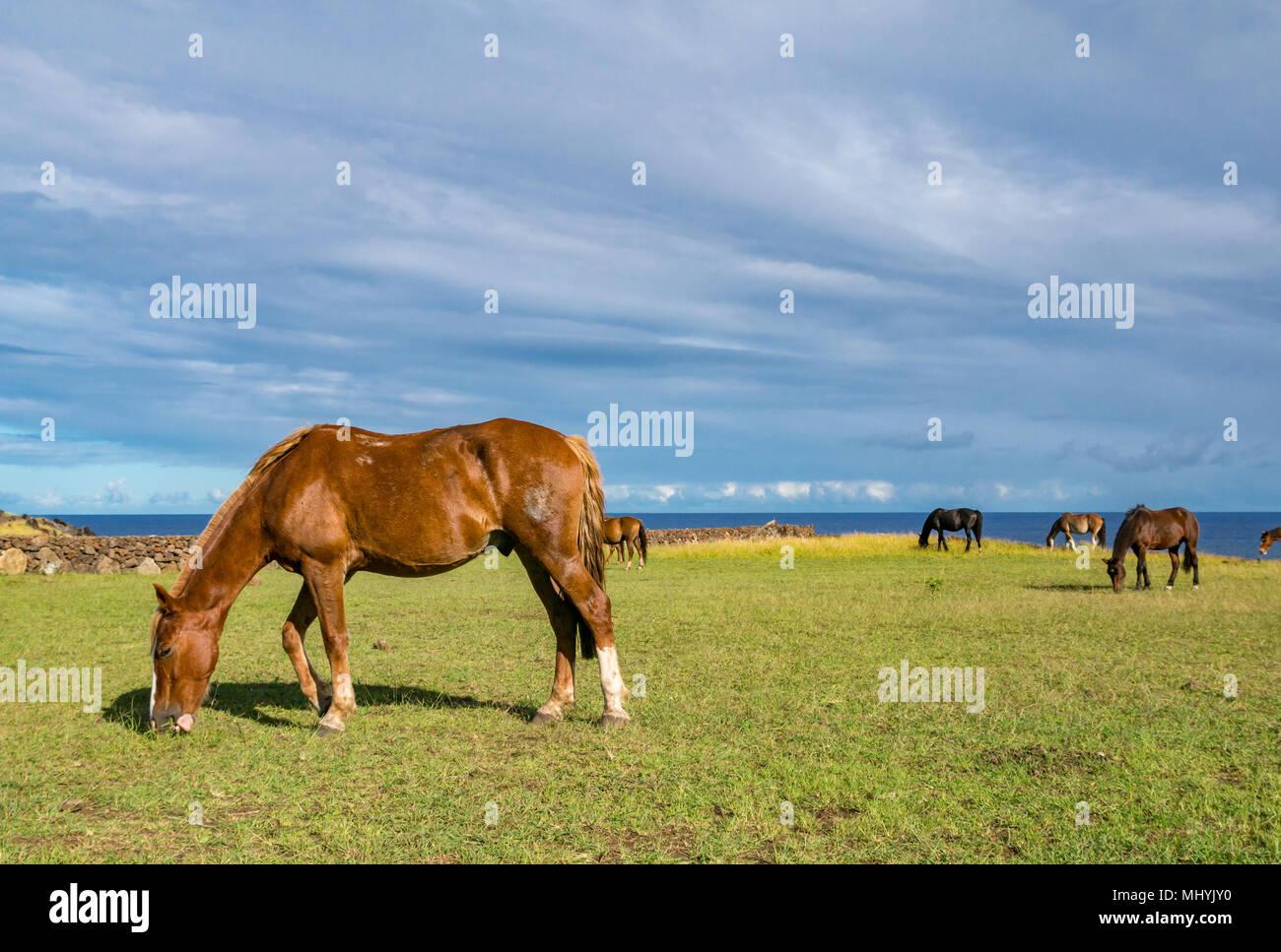 Cavalli selvaggi di pascolare su erba accanto al mare, con cielo blu, l'isola di pasqua, Cile Immagini Stock