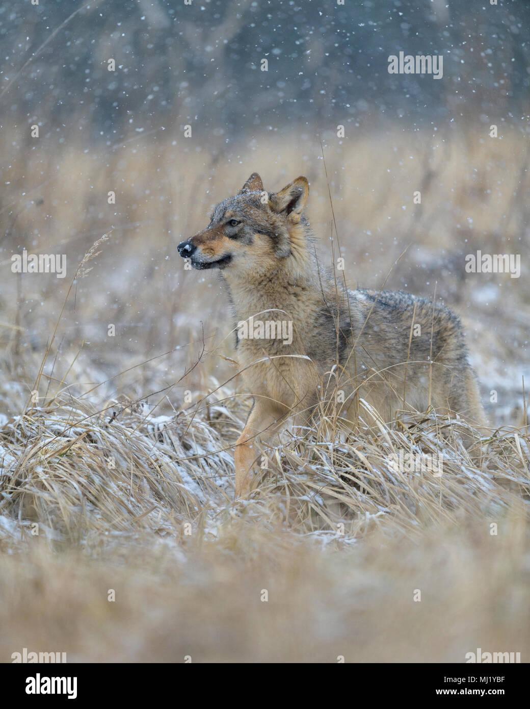 Piccolo lupo immagini & piccolo lupo fotos stock alamy