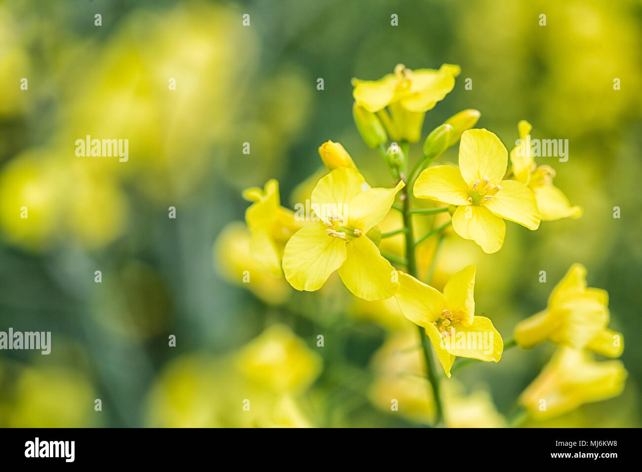 Fiori Gialli Per Olio.Semi Di Colza Giallo Dei Fiori In Un Campo Di Queste Piante Un