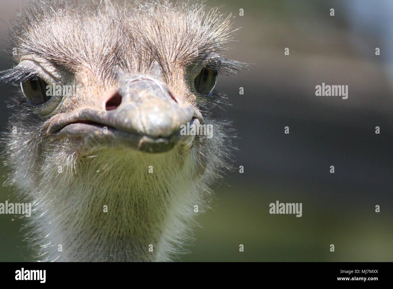In prossimità di uno struzzo - fare attenzione che il becco Foto Stock