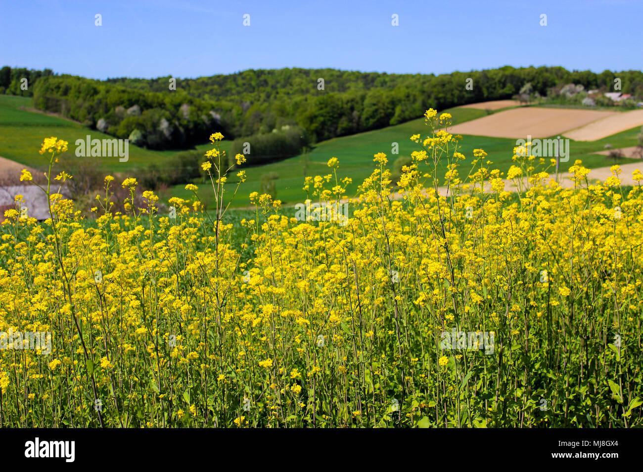 Erba Con Fiori Gialli.Fiori Gialli Con Erba E Campo Arato In Background Foto Immagine
