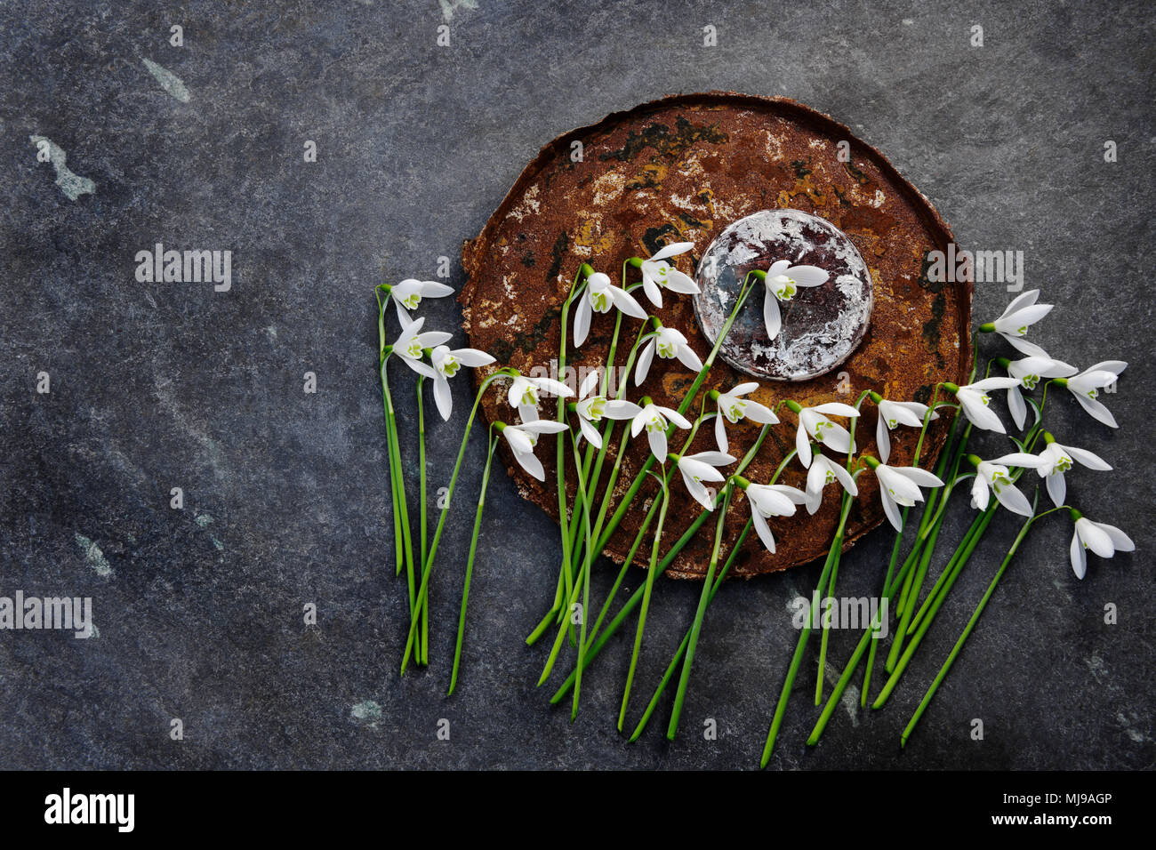Snowdrop fiori, rusty fondo benna, bruciato base di stagno di cacao, con lastre di ardesia sfondo. Immagini Stock