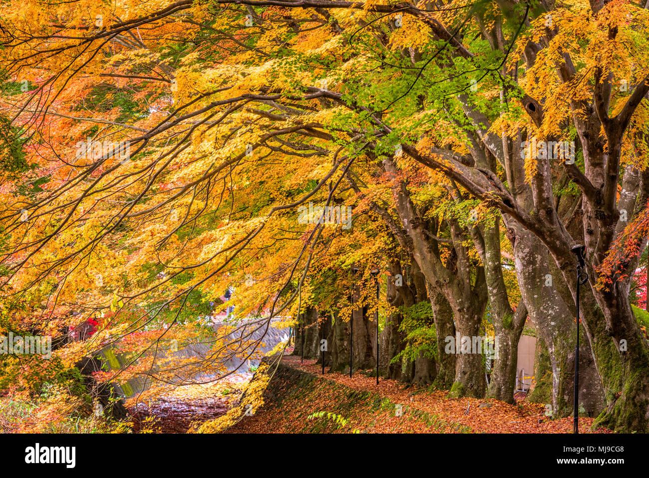 Maple corridoio vicino al Lago Kawaguchi, Giappone durante l'autunno. Immagini Stock