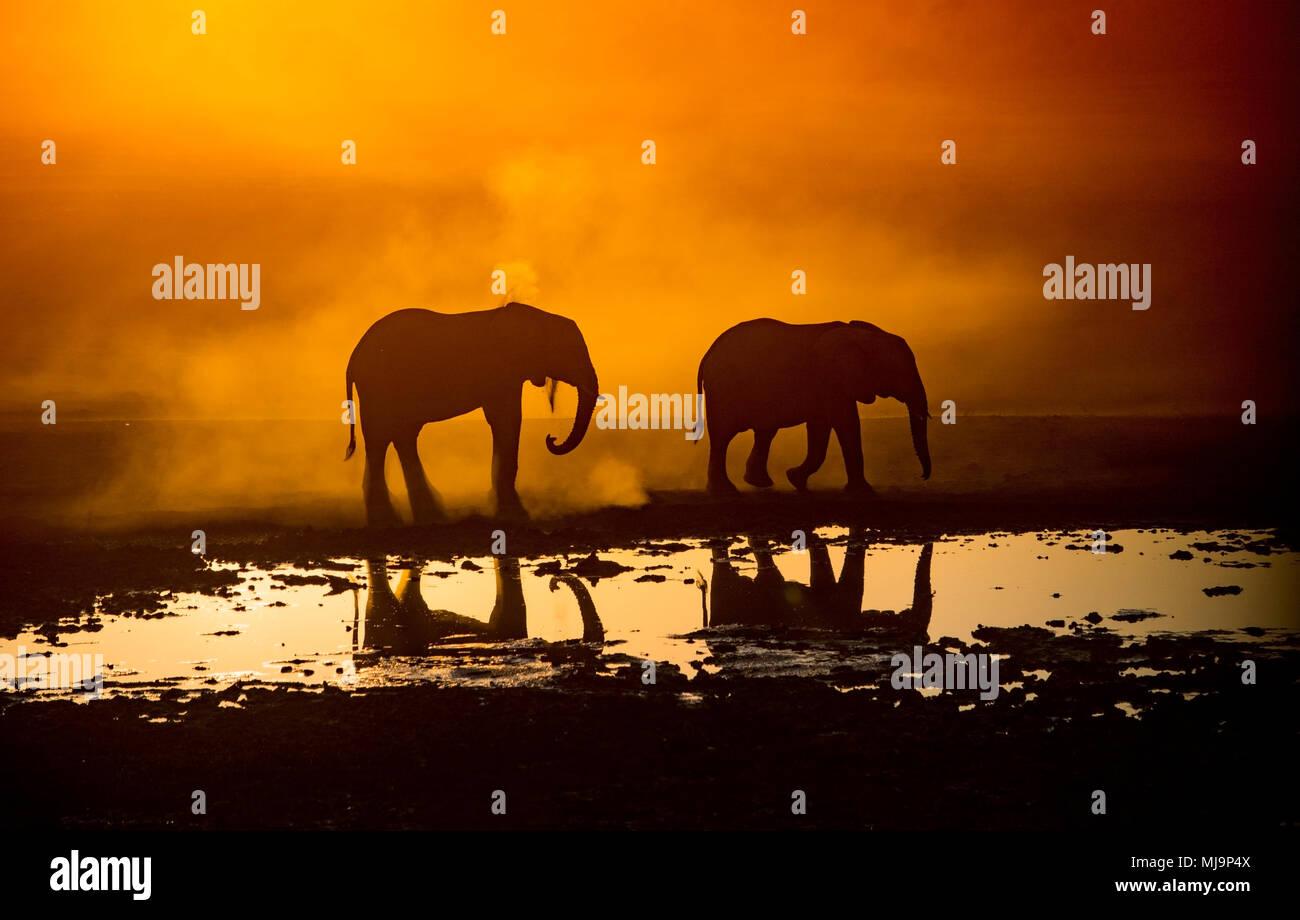 Gli elefanti africani stagliano contro il tramonto Immagini Stock
