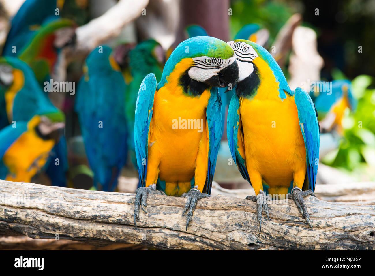 Una coppia di blu e giallo macaws appollaia al ramo di legno nella giungla. Colorato macaw uccelli nella foresta. Immagini Stock