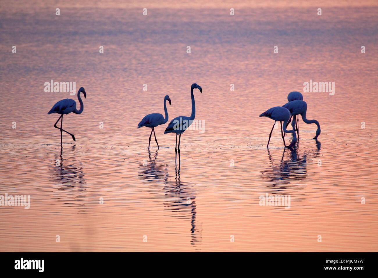 L'Italia, Sardegna, West Coast, Oristano, penisola del Sinis, Porto Mandriola, Capo Mannu, Stagno di Sale Porcus, flamingo, Atmosfera mattutina, Immagini Stock