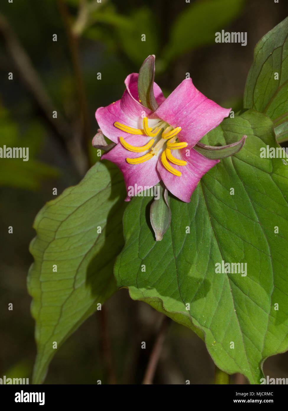 Un Catesby's trillium fiore con quattro petali e quattro sepali. Immagini Stock