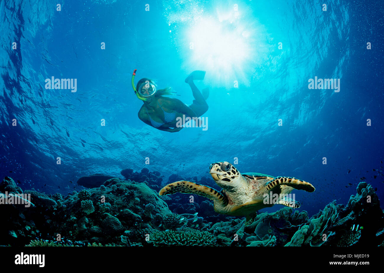 Tartaruga embricata e pelle subacqueo, Eretmochelys imbricata, Maldive, Oceano Indiano, Meemu Atoll Immagini Stock