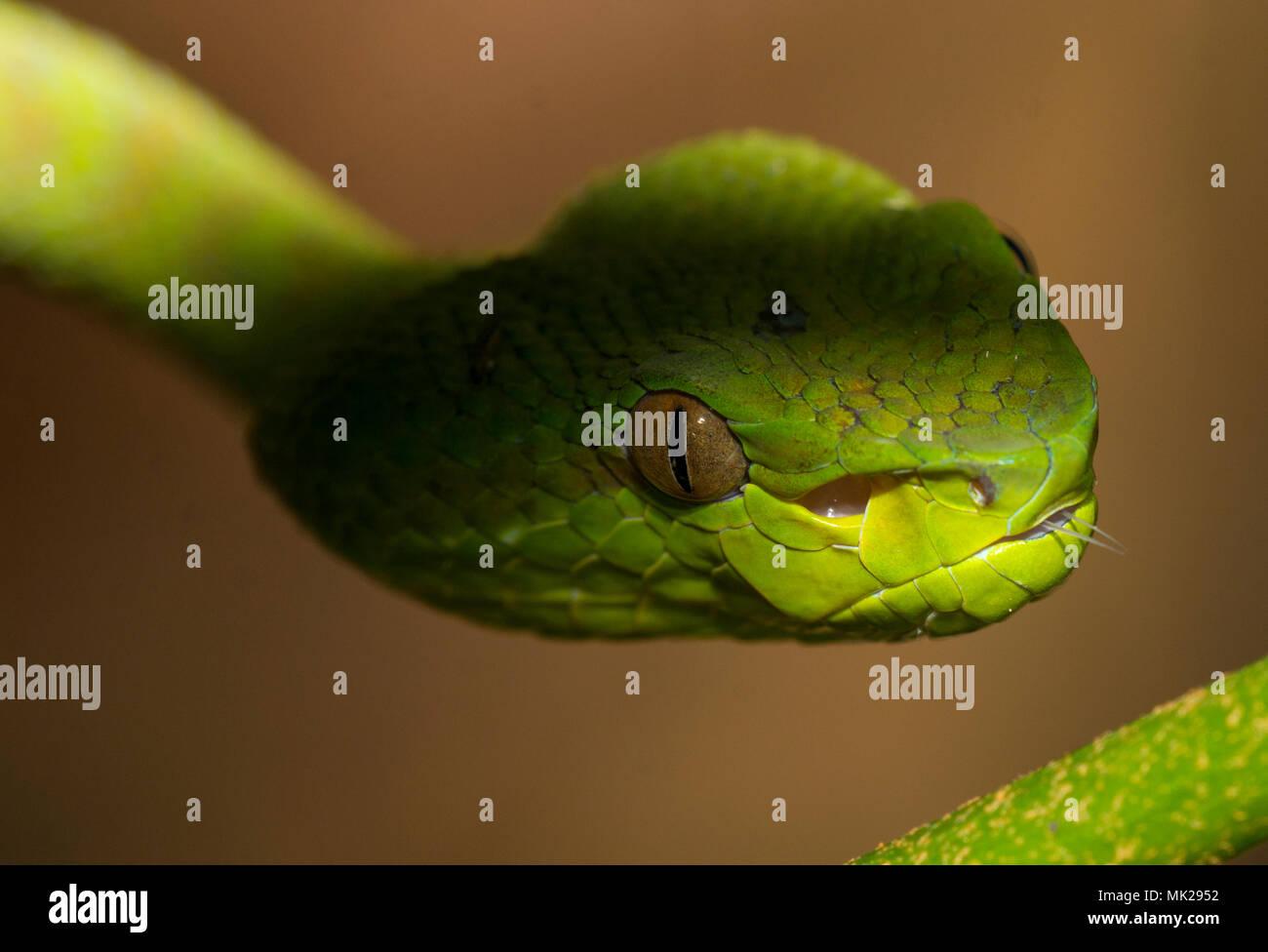Bellissima femmina verde Phuket Rattlesnakes (Trimeresurus phuketensis) in una struttura ad albero su Phuket Thailandia. Immagini Stock