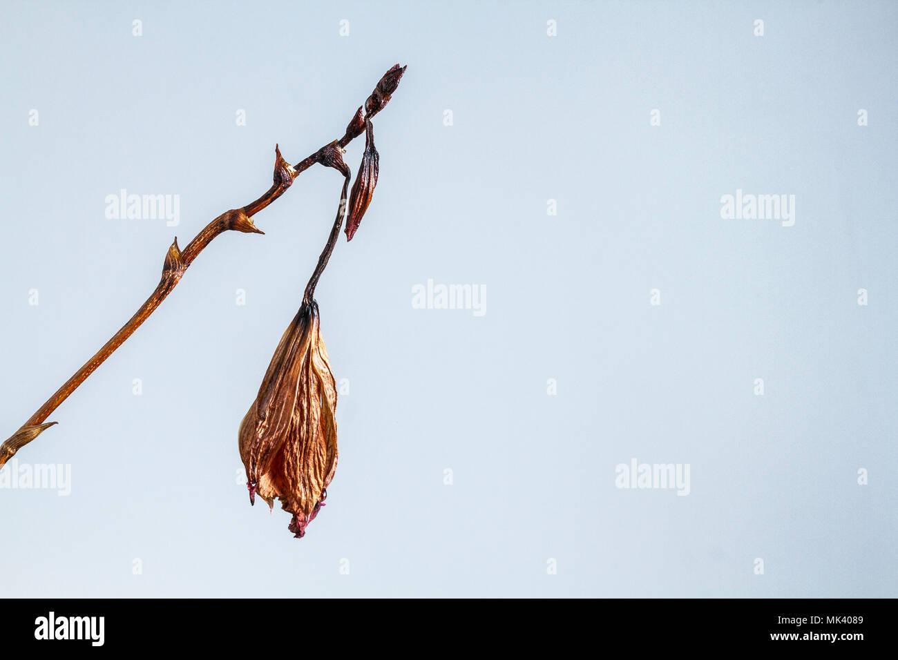 Morendo bamboo orchid (Arundina graminifolia). Immagini Stock