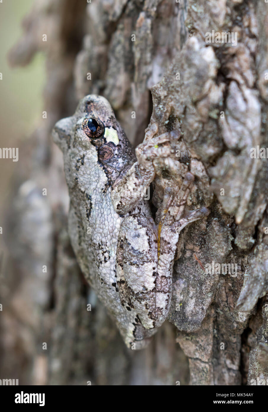 Gray treefrog (Hyla versicolor) mimetizzazione sulla corteccia di olmo, Iowa, USA. Immagini Stock