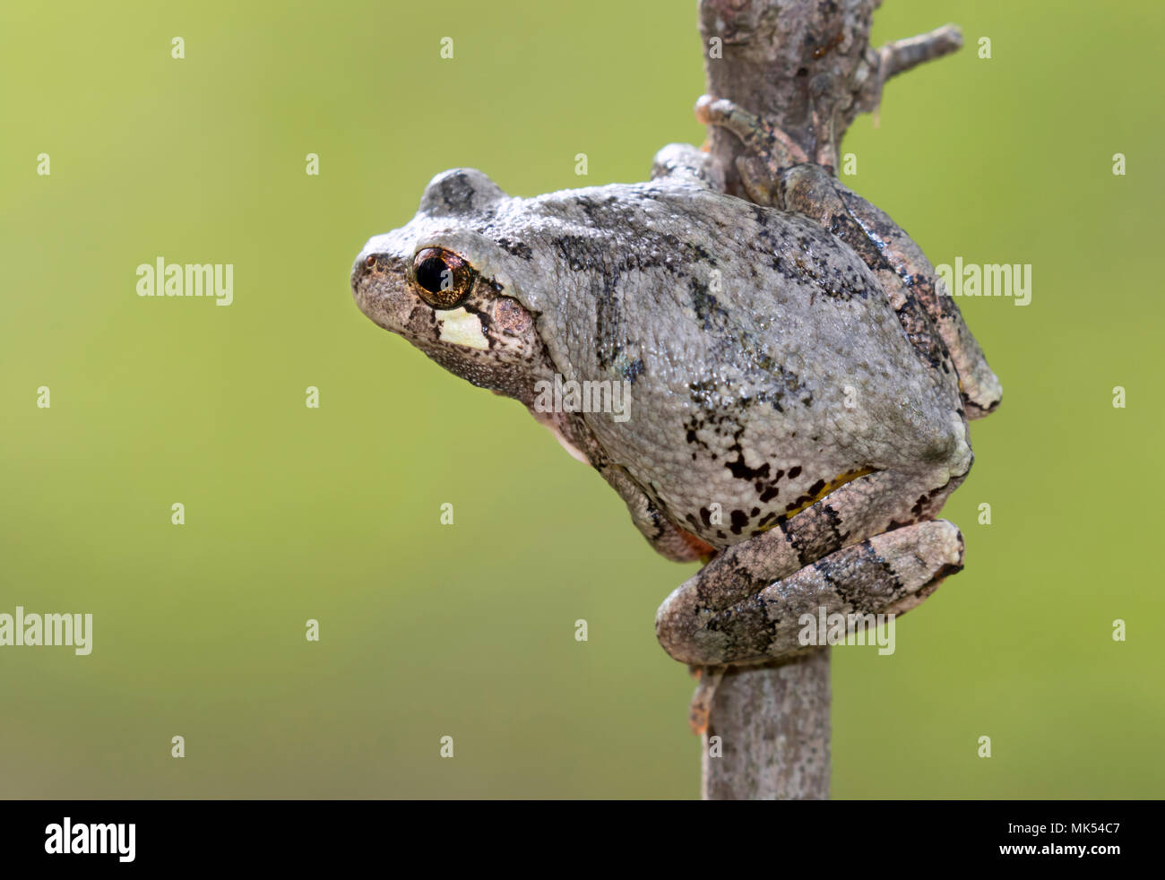 Gray treefrog (Hyla versicolor) su un ramo di albero, Iowa, USA. Immagini Stock
