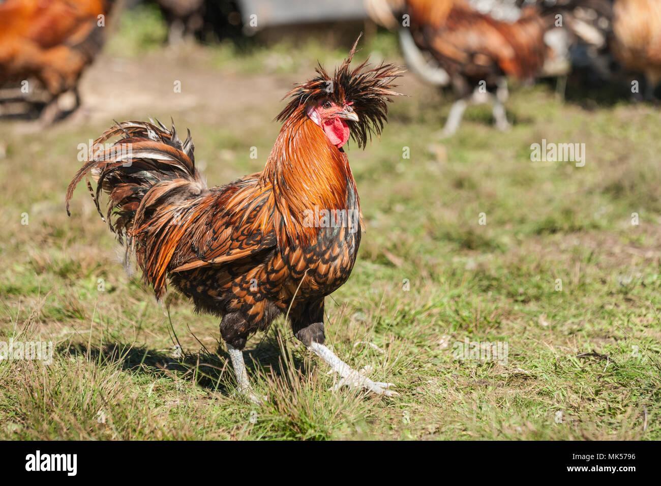 Garofano, Washington, Stati Uniti d'America. Golden cucita polacco strutting rooster attraverso il prato. (PR) Immagini Stock