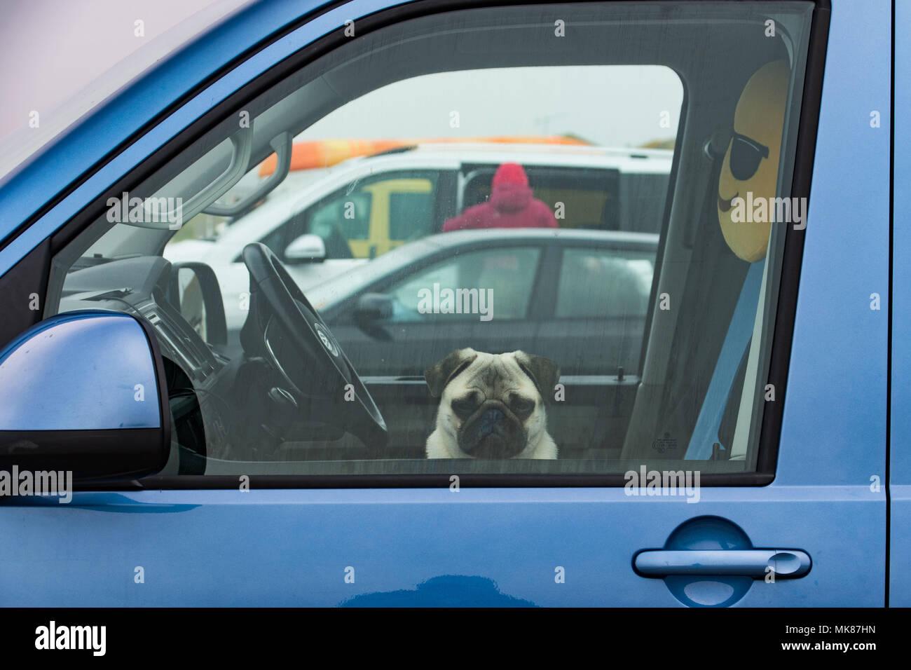 Pug dog guardando fuori della finestra van cercando glum, con una faccina sorridente cuscino dietro di lui. Immagini Stock