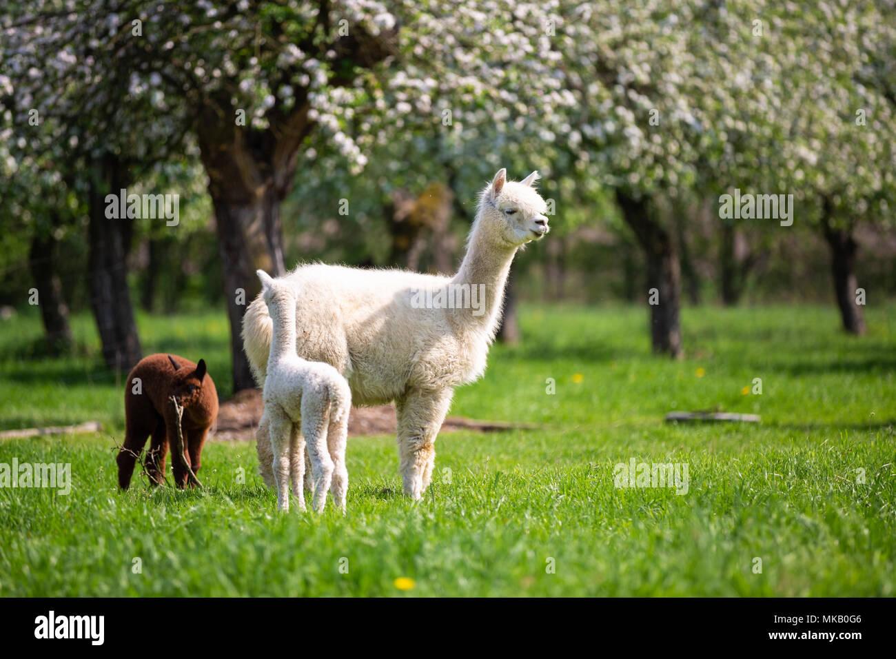 Alpaca bianco con prole, sud americana di mammifero Immagini Stock