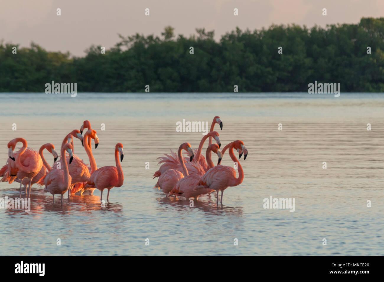 Fenicotteri rosa famiglia all'alba , si riuniscono prima di partire per iniziare la loro giornata nel fiume Immagini Stock