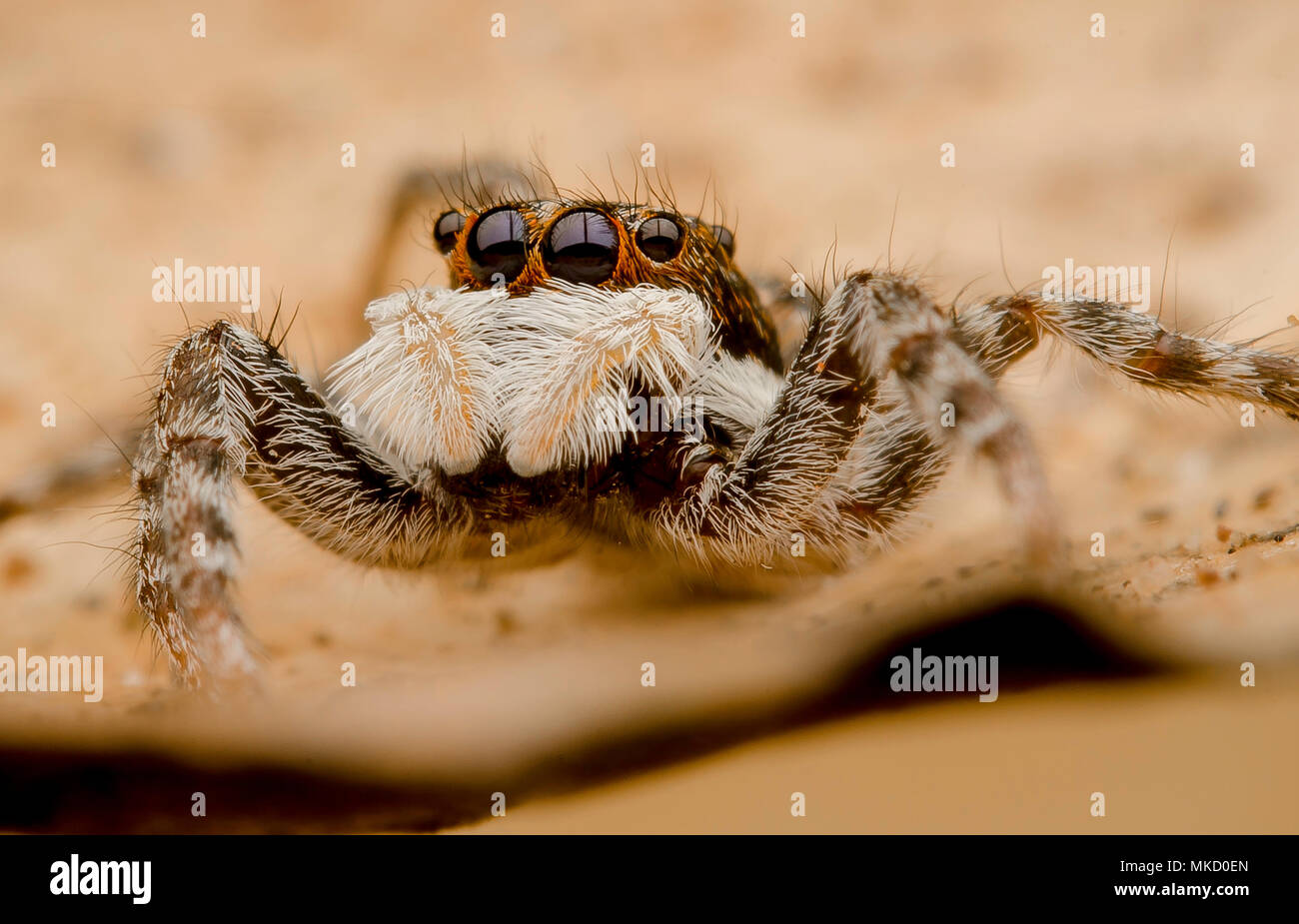Jumping Spider Menemerus semilimbatus Immagini Stock