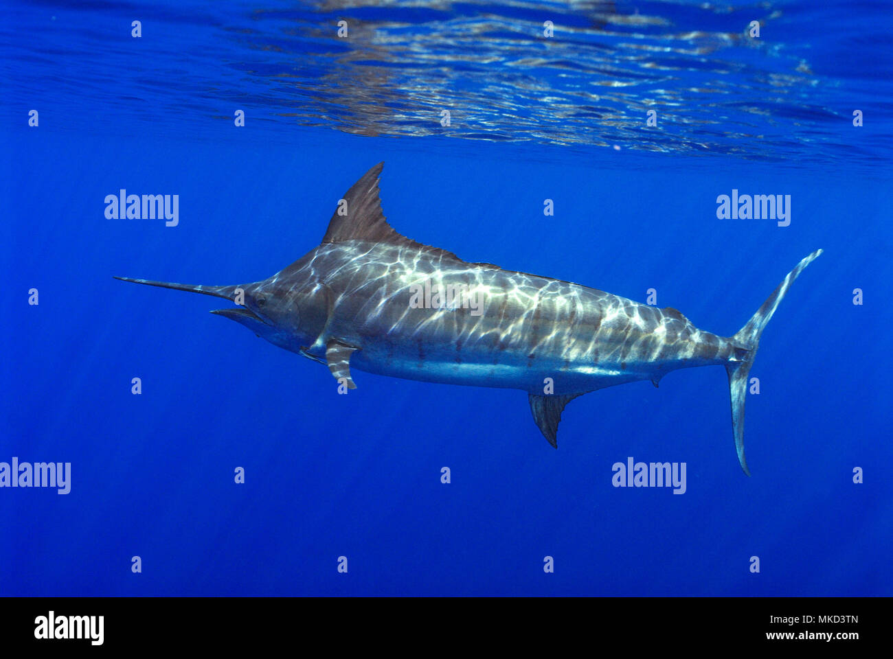 Atlantic blue marlin (Makaira nigricans), Tenerife, Isole Canarie. Foto Stock