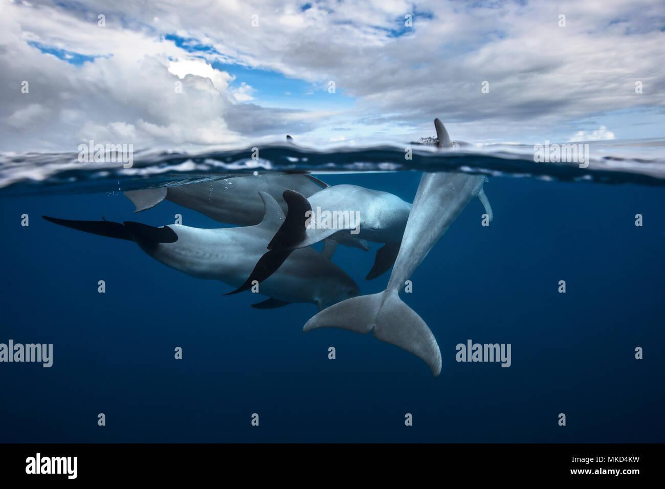 Oceano Indiano tursiope (Tursiops aduncus) socializzazione nella laguna, Mayotte, Oceano Indiano Immagini Stock