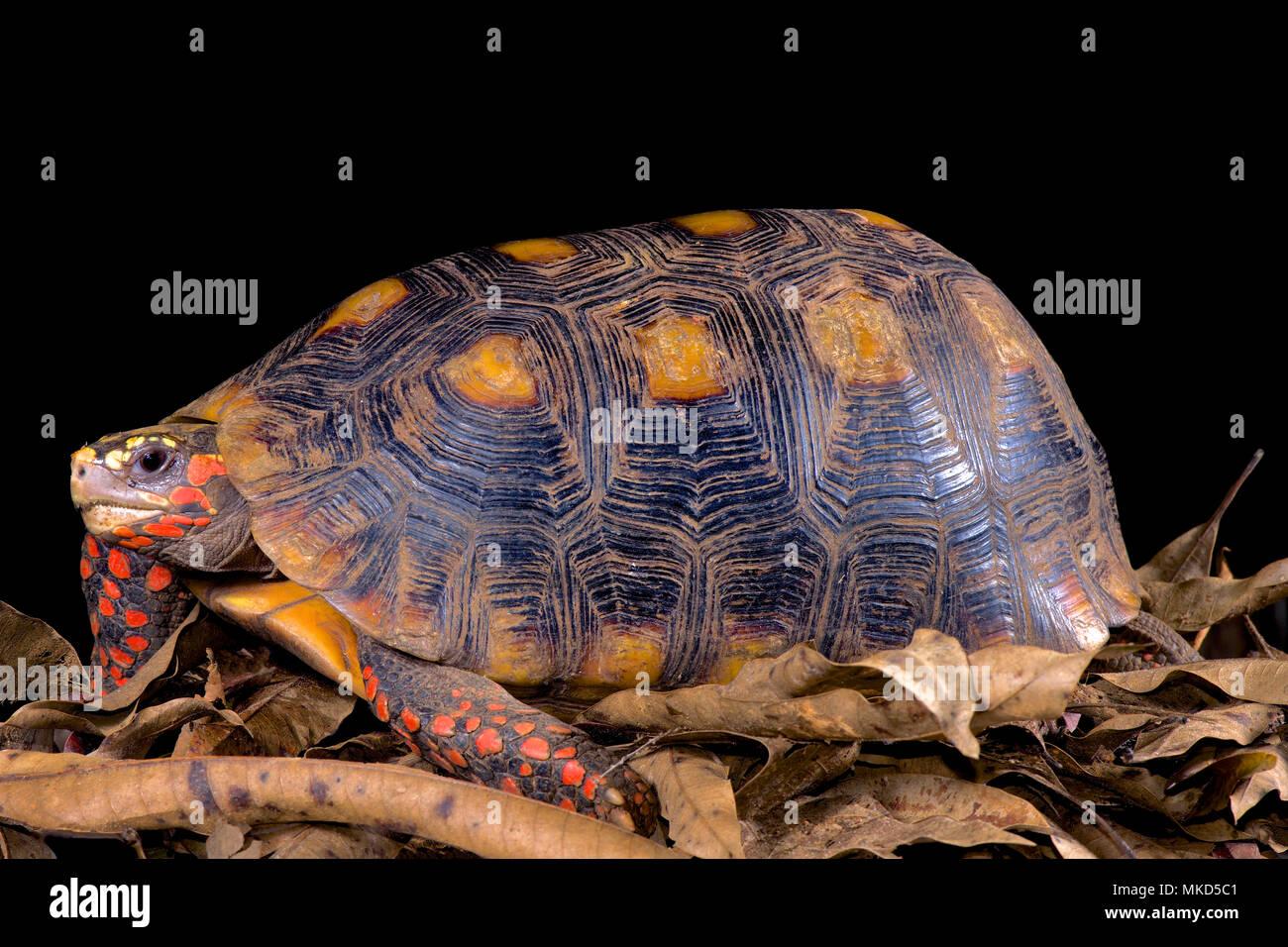 Rosso-footed tartaruga (Chelonoidis carbonaria) su sfondo nero Foto Stock