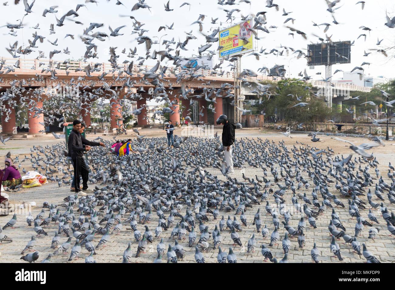 Membri della Bishnoi gruppo etnico proteggere gli animali, il mangime ai piccioni della città di Jaipur, il Parco nazionale di Ranthambore, Rajasthan, India Immagini Stock