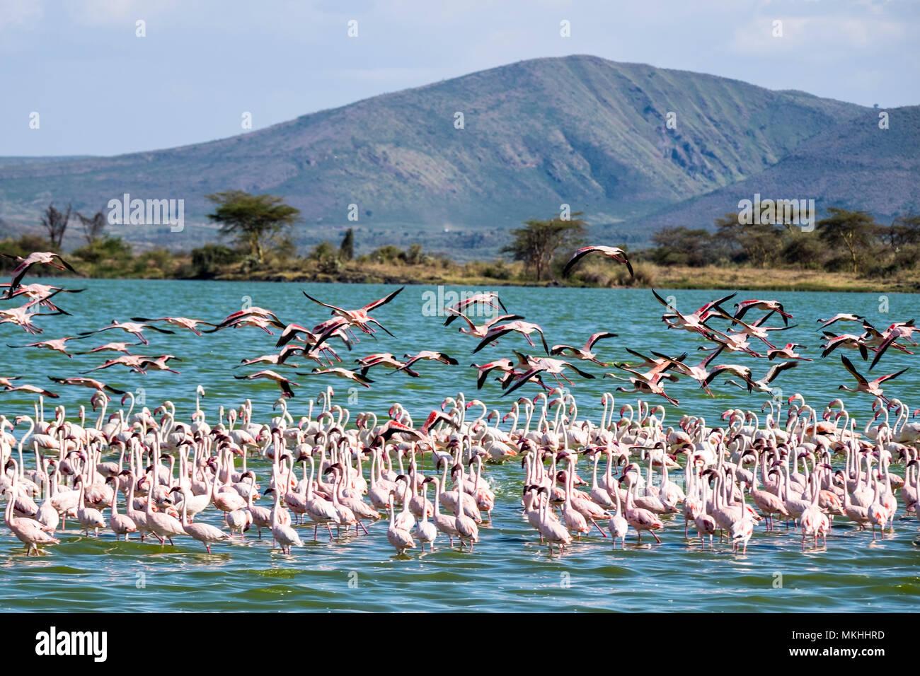 Lesser Flamingo (Phoeniconaias minore) e fenicottero maggiore (Phoenicopterus roseus), il lago Elmenteita, Soysambu Area di Conservazione, Kenya Immagini Stock
