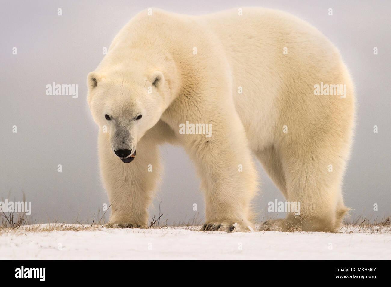 Angry polar bear immagini & angry polar bear fotos stock alamy