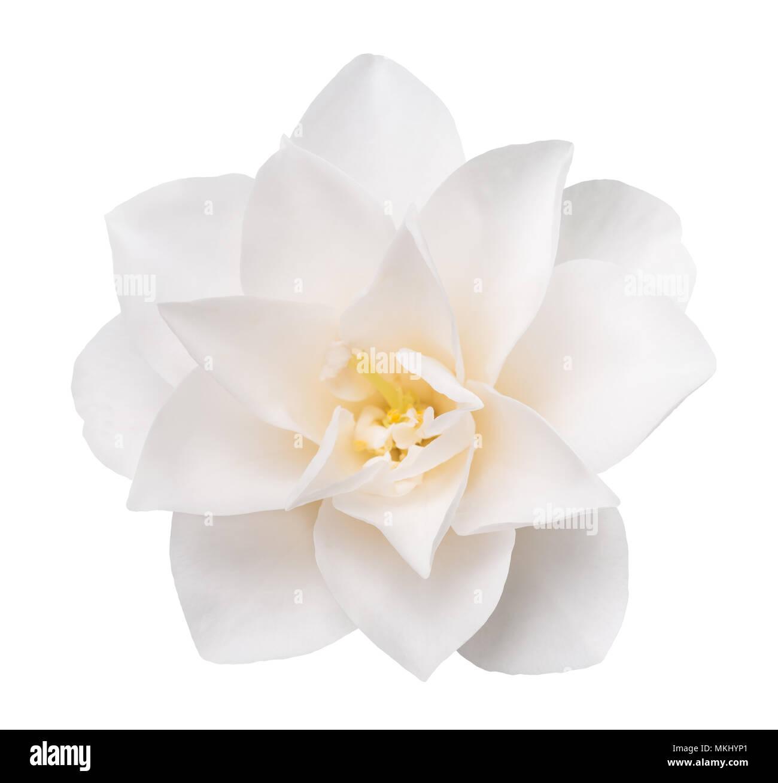 White Camellia Flower isolati su sfondo bianco Immagini Stock