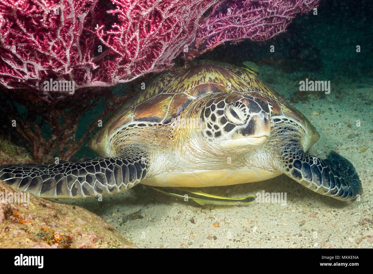 Una specie in via di estinzione, questa tartaruga verde, Chelonia Mydas, è appoggiata sotto una ventola di corallo gorgonia lungo con due remora, Filippine. Immagini Stock