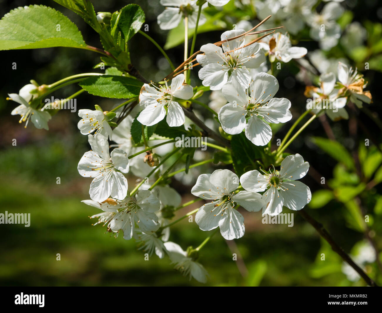 Fiori Bianchi Primaverili.I Fiori Bianchi Primaverili Di Hardy Marasca Prunus Cerasus