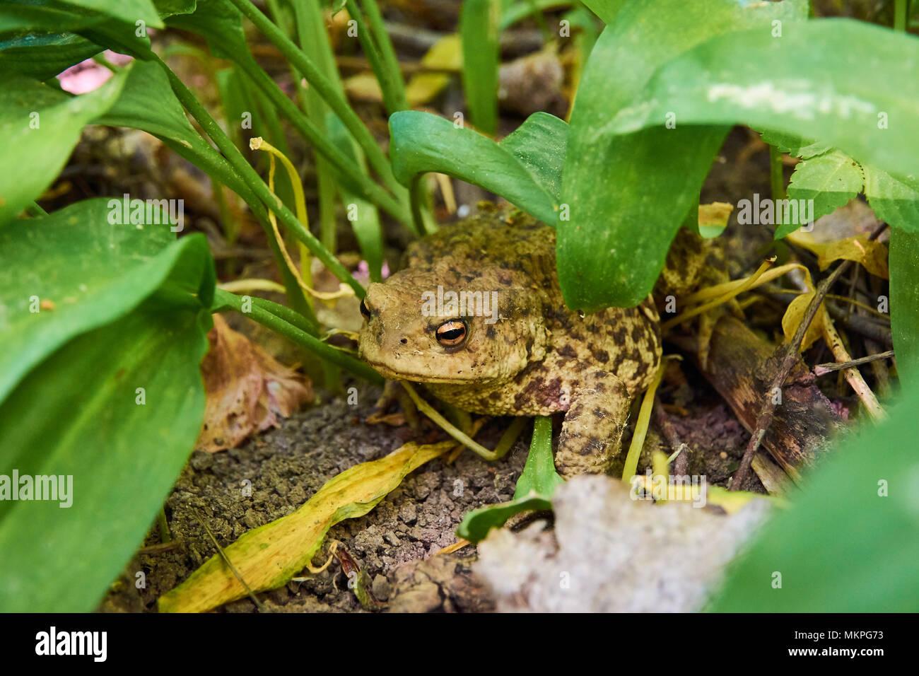 Toad seduta su argilla tra foglie verdi su una soleggiata giornata di primavera Immagini Stock