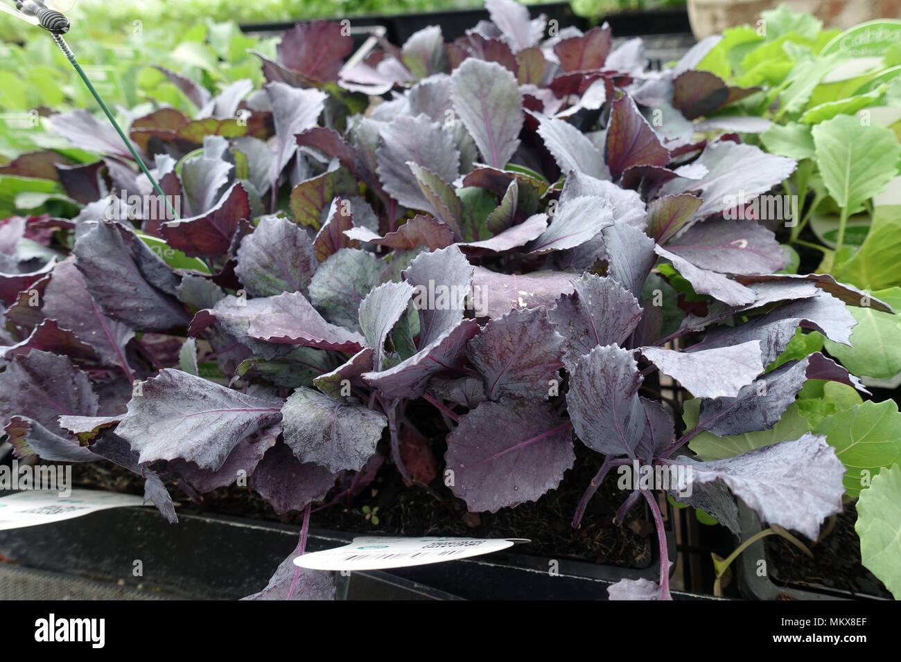 Brassica oleracea o noto come cavolo rosso bambino Brassica oleracea o noto come cavolo rosso bambino Immagini Stock