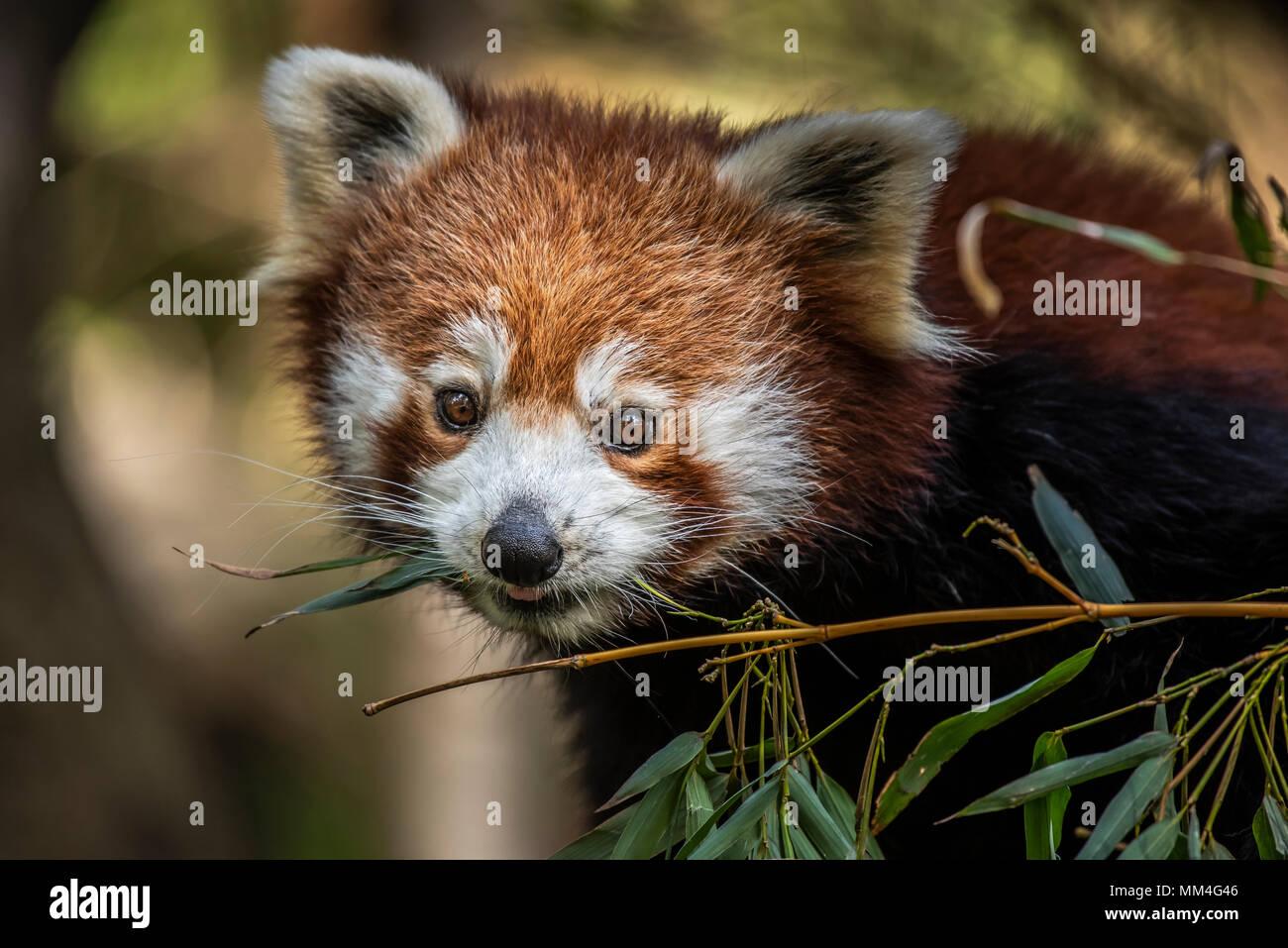 Il panda rosso o anche conosciuto come il rosso Cat-Bear. È leggermente più grande di un gatto domestico e mosty è trovato nell'Himalaya orientale's Immagini Stock