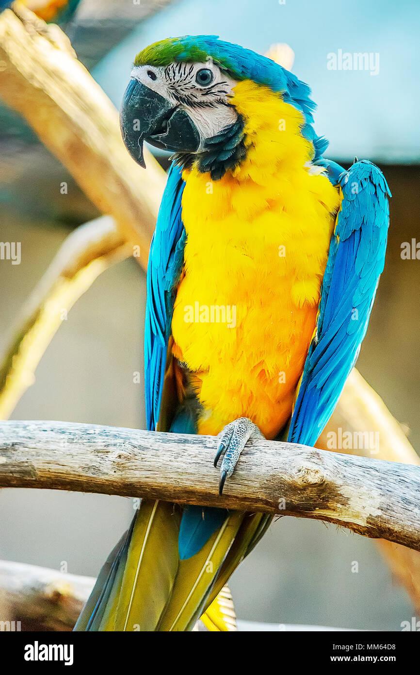 Intelligente e socievole, il blu e oro Macaw cresce per essere abbastanza grande, la misura quasi tre metri di distanza dal becco alla punta della coda. Immagini Stock